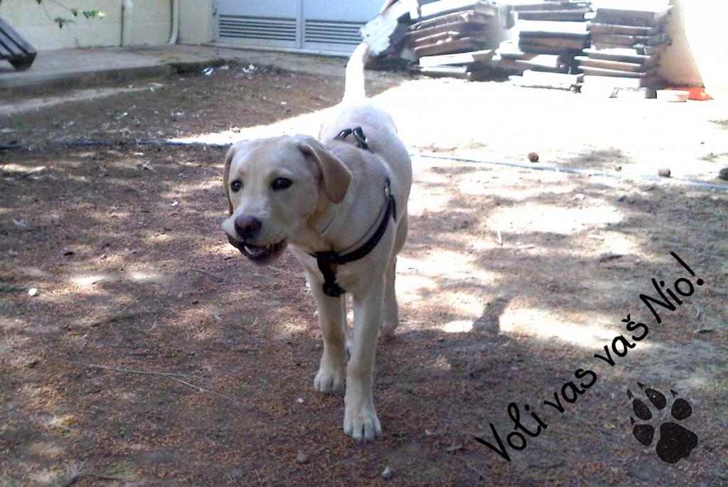 Labrador-retriver-stenci-loptica