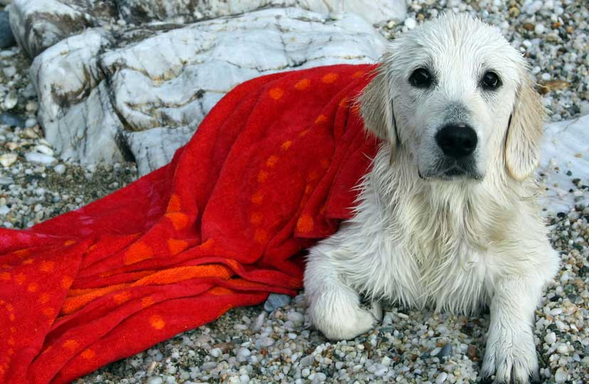 Beli retriver Žizel štene