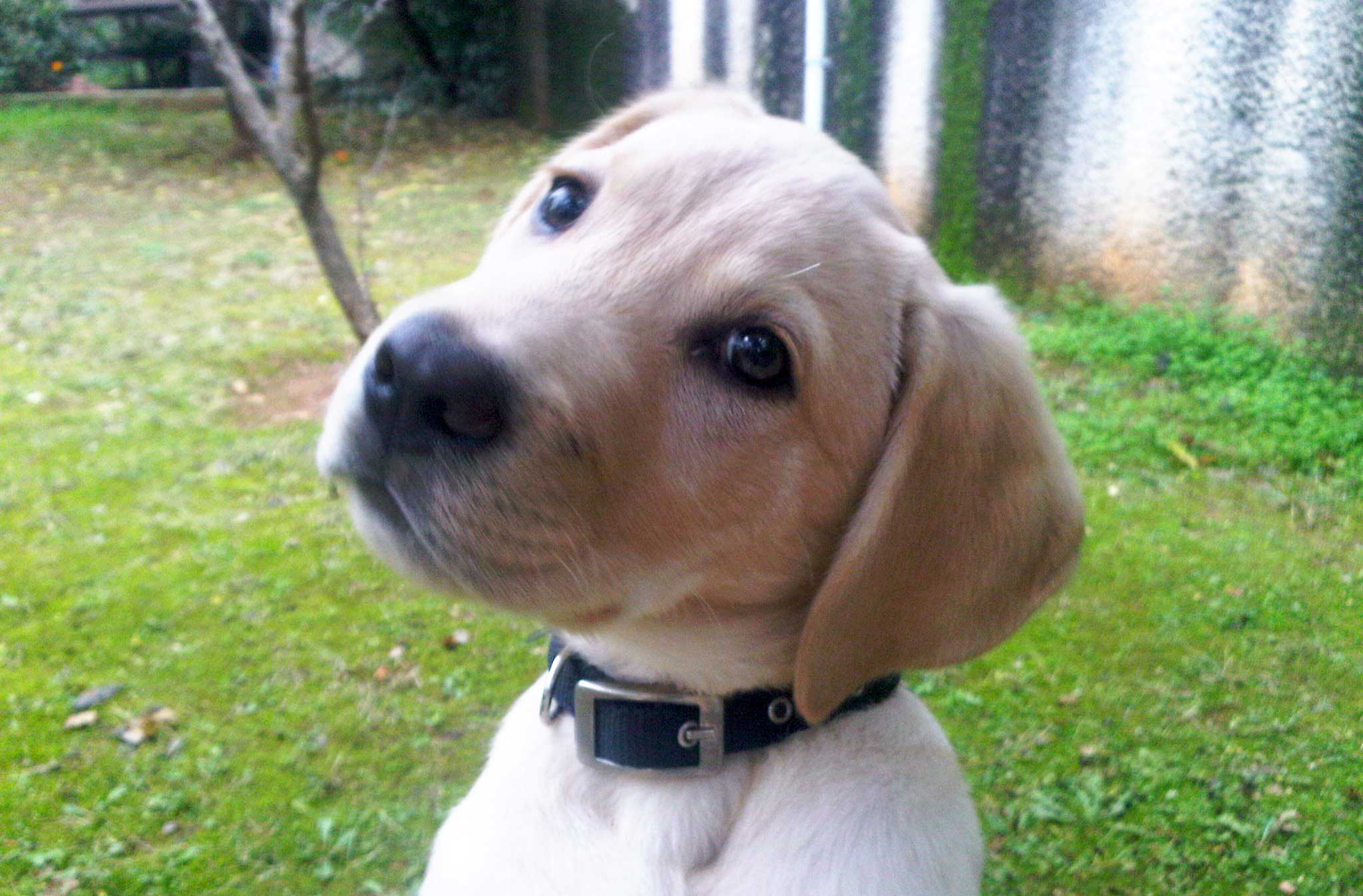 Labrador štene Nio